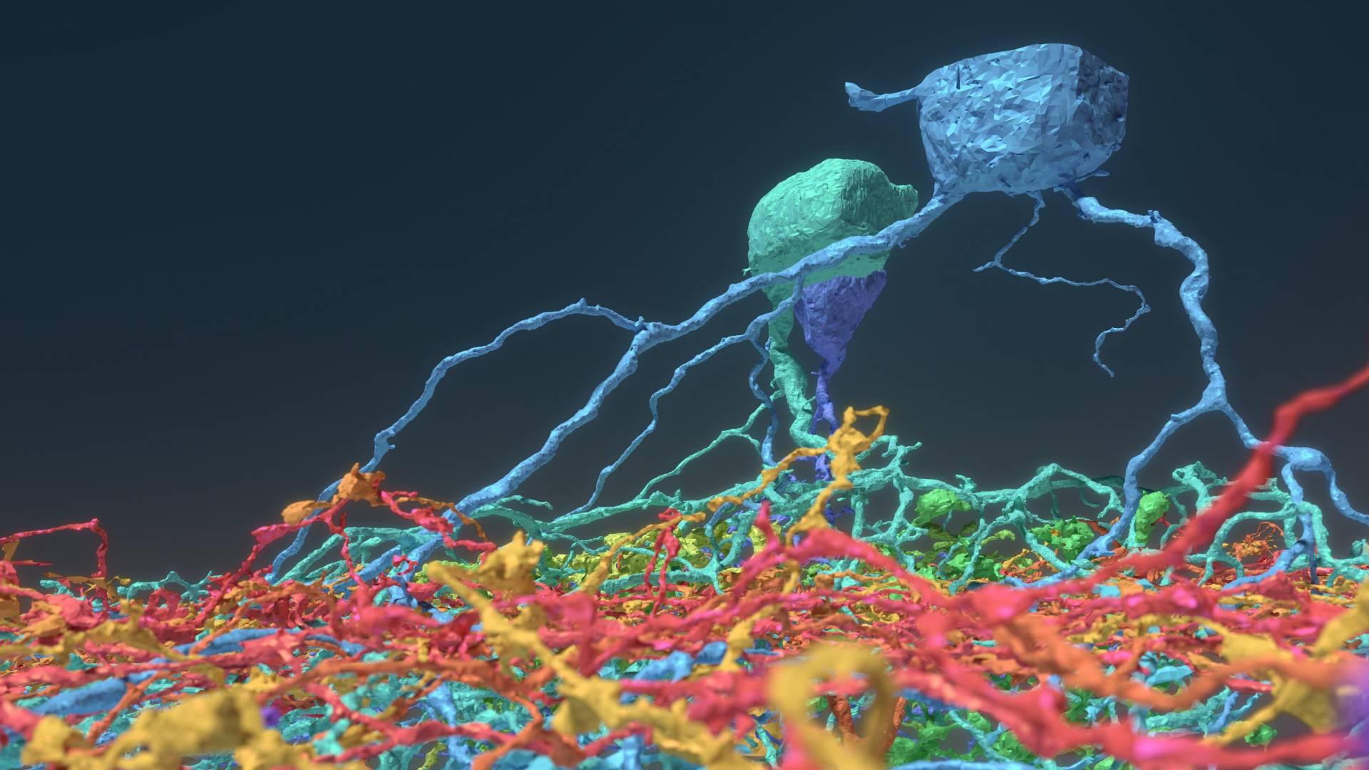 Pesquisadores de Princeton Fazem Crowdsourcing de Mapeamento Cerebral com Jogadores e Descobrem Seis Novos Tipos de Neurônios